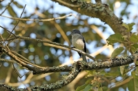 Muscicapa caerulescens; Ashy flycatcher; Askflugsnappare
