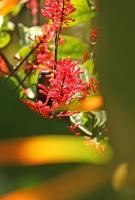 Chalcomitra amethystina; Amethyst sunbird; Ametistsolfågel