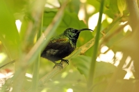 Nectarinia kilimensis; Bronze sunbird; Bronssolfågel