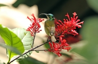 Cyanomitra verticalis; Green-headed sunbird; Grönhuvad solfågel