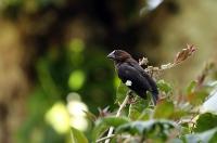 Amblyospiza albifrons; Grosbeak weaver; Tjocknäbbad vävare
