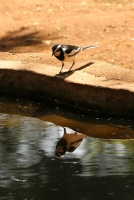 Motacilla aguimp; African pied wagtail; Brokärla