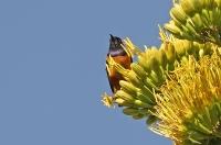 Lamprotornis hildebrandti; Hildebrandt's starling; Hildebrandts glansstare