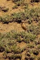 Chersomanes beesleyi; Beesley's lark; Arushalärka