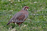 Alectoris rufa; Red-legged partridge; Rödhöna