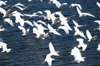 Bubulcus ibis; Cattle egret; Kohäger