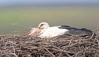 Ciconia ciconia; White stork; Vit stork