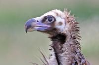 Aegypius monachus; Eurasian black vulture; Grågam