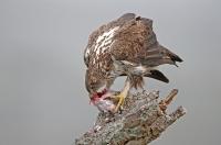 Aquila fasciata; Bonelli's eagle; Hökörn