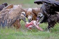 Gyps fulvus; Eurasian griffon vulture; Gåsgam