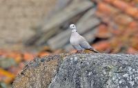 Streptopelia decaocto; Eurasian collared dove; Turkduva