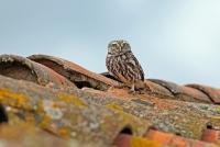 Athene noctua; Little owl; Minervauggla