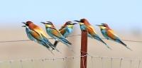 Merops apiaster; European bee-eater; Biätare