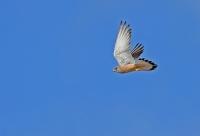 Falco naumanni; Lesser kestrel; Rödfalk