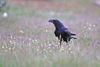 Corvus corax; Common raven; Korp