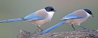 Cyanopica cyanus; Azure-winged magpie; Blåskata