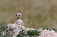 Galerida cristata; Crested lark; Tofslärka