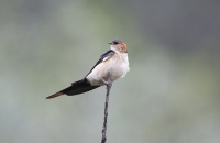 Cecropis daurica; Red-rumped swallow; Rostgumpsvala
