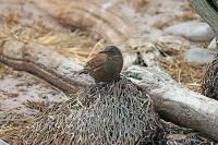 Cinclodes antarcticus antarcticus; Tussockbird; Gråsvart cinclodes