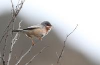 Sylvia cantillans; Subalpine warbler; Rödstrupig sångare