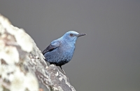 Monticola solitarius; Blue rock-thrush; Blåtrast