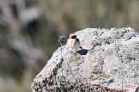 Oenanthe hispanica; Black-eared wheatear; Medelhavsstenskvätta