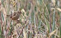 Cistothorus platensis falklandicus; Falkland grass wren; Starrgärdsmyg