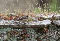 Saxicola rubicola; European stonechat; Svarthakad buskskvätta