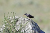 Sturnus unicolor; Spotless starling; Svartstare