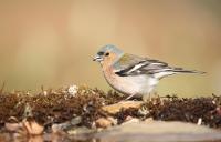 Fringilla coelebs; Common chaffinch; Bofink
