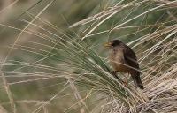 Turdus falcklandii falcklandii; Falkland (Austral) thrush; Falklandstrast