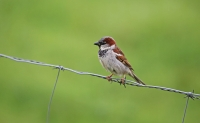 Passer domesticus; House sparrow; Gråsparv