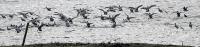 Anas penelope; Eurasian widgeon; Bläsand