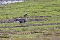 Anser albifrons; Greater white-fronted goose; Bläsgås