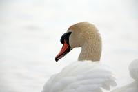 Cygnus olor; Mute swan; Knölsvan
