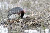 Podiceps grisegena; Red-necked grebe; Gråhakedopping