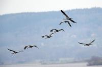 Grus grus; Common crane; Trana