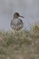 Tringa totanus; Common redshank; Rödbena