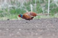 Phasianus colchicus; Common pheasant; Fasan