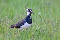 Vanellus vanellus; Northern lapwing; Tofsvipa