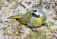Melanodera m melanodera; Black-throated finch; Gulvingad patagonfink