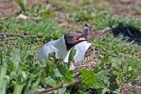 Larus ridibundus; Black-headed gull; Skrattmås