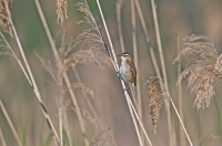 Acrocephalus schoenobaenus; Sedge warbler; Sävsångare