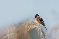 Emberiza schoeniclus; Common reed bunting; Sävsparv