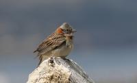 Zonotrichia capensis; Rufous-collared sparrow; Morgonsparv