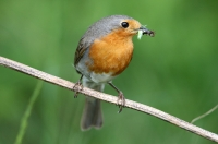 Erithacus rubecula; European robin; Rödhake