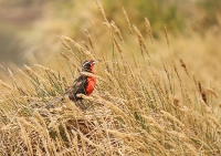 Sturnella loyca falklandia; Long-tailed meadowlark; Långstjärtad ängstrupial