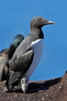 Uria aalge; Common murre [guillemot]; Sillgrissla