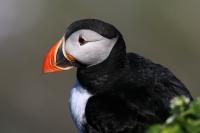 Fratercula arctica; Atlantic puffin; Lunnefågel