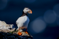 Fratercula arctica; Atlantic puffin; Lunnefågel